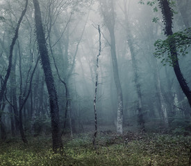 Mysterious spring forest in fog