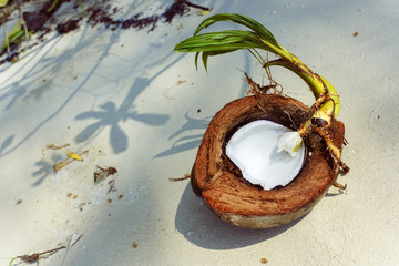 Coconut in the pacific ocean.