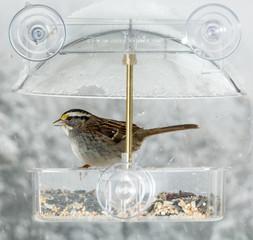 American Sparrow in window bird feeder