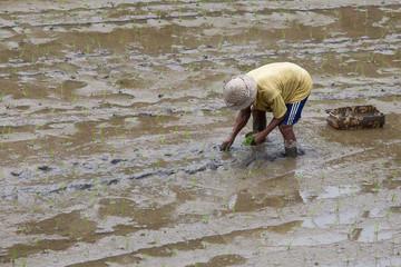 Farmer working hard on rice field in Bali. Indonesia