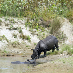 Greater one horned rhinoceros in Bardia, Nepal