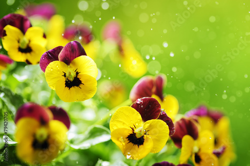 Foto op Canvas Pansies Pansy flowers