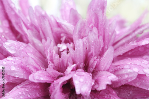 macro water drop on pink purple flower ,chrysanthemum flower