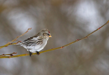 Common Redpoll on the branch