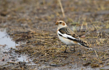 Snow bunting on the ground