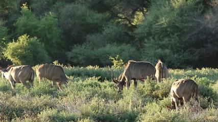 Kudu antelopes feeding, Mokala National Park