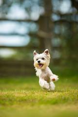 Cute little dog doing agility drill - running slalom