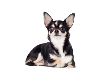 Chihuahua, 2 years old, on the white background