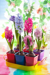 multicolored hyacinth
