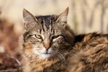 chat tigré main coon