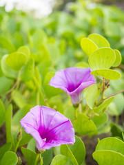 Closeup fresh flower of Beach Morning Glory (Ipomoea pes-caprae)