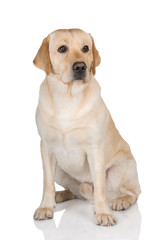 yellow labrador retriever dog