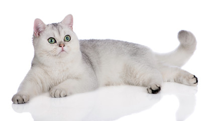 british shorthair cat lying down on white