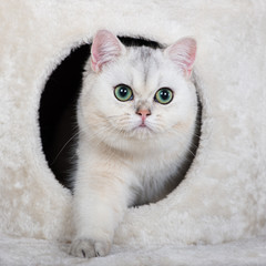 british shorthair cat hiding