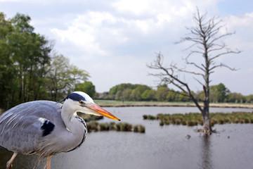 graureiher im naturpark schwalm-nette