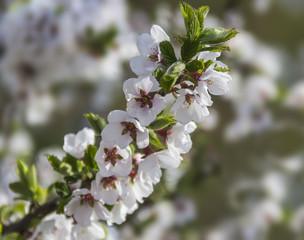 Ornamental cherry branch