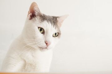 Gray and white cat.