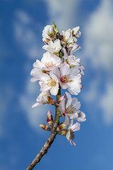 Close view of a branch of almond tree blossom flowers in nature.