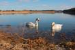 Schwanenpaar am Seehamer See
