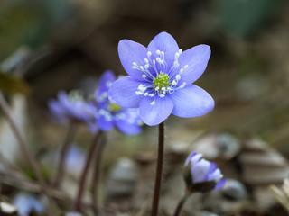 Anemone hepatica - blue spring woodland flower.