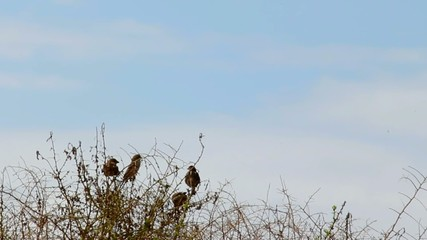 Urban sparrows fly off from  the  bush on blue sky background