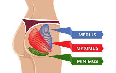 Vector Flat Gluteus Maximus Illustration