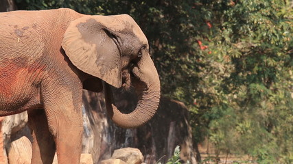 African elephant eating leaves