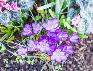 Purple, crocus flowers.