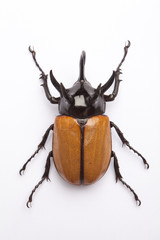 Rhino big horn beetle bug isolated on white background..