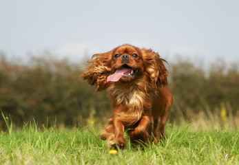 Pedigree Cavalier King Charles Spaniel Dog
