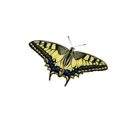 Swallowtail butterfly on a homogeneous background