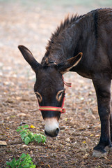 Donkey eating grass on the farm.