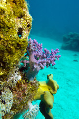 coral reef with soft corals in tropical sea - underwater