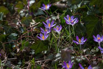 Wilde lila Krokusse im Wald