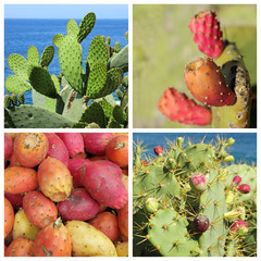 Opuntia ficus-indica fruits and plants ( called also as Indian