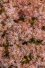 Close up view of a beautiful sedum succulent bush.