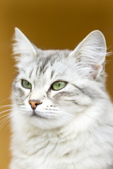 silver version of siberian cat