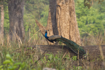 Indian peafowl in Bardia, Nepal