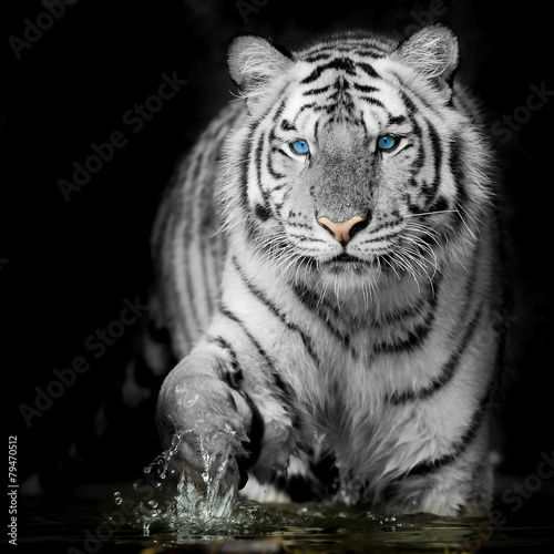 Black & White Tiger - 79470512