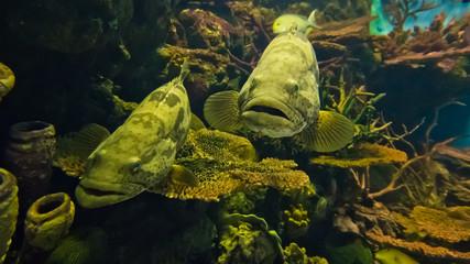 Curious nassau grouper