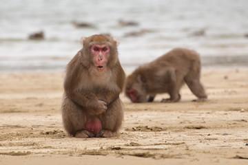 浜辺の日本猿