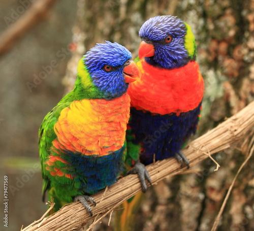 Tuinposter Papegaai couple de loris arc-en-ciel