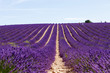 Blooming lavender fields near Valensole in Provence, France.