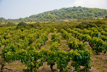 Vineyard on Vis Island, Croatia