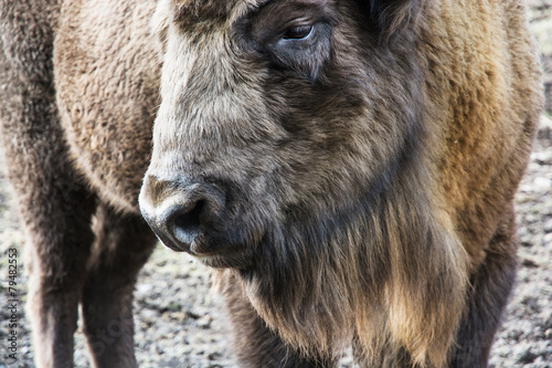 Deurstickers Bison European bison close up portrait