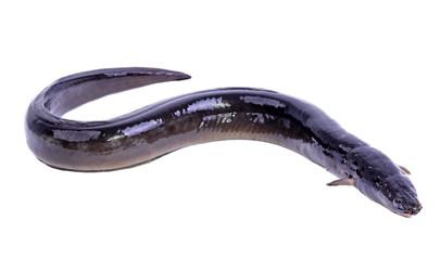 Eel fish isolated on white background