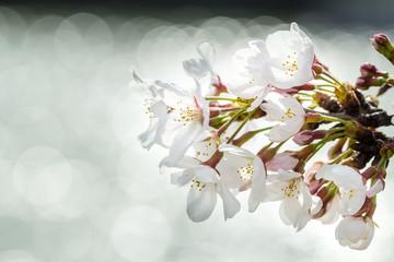 OSAKA, JAPAN - MARCH 31, 2014: Cherry blossom in spring, Osaka.