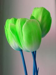 странные зеленные тюльпаны