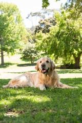 Cute golden retriever in the park