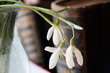 Постер, плакат: snowdrops in the vase on the bookshelf